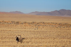 Zebras in Savannah in Front of Mountains, Namibia Royalty Free Stock Image