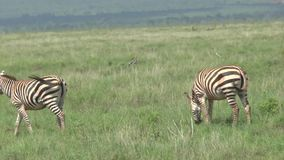 Zebras in Savannah Safari in Kenia stock footage