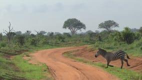 Zebras in Savannah Safari in Kenia stock footage