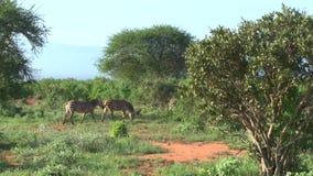 Zebras in Savannah Safari in Kenia stock videobeelden