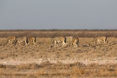 Zebras in the savannah Royalty Free Stock Image