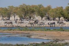 Zebras in the savannah Royalty Free Stock Photo