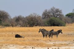 Zebras in the Savannah. In Southern Africa stock photography