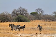 Zebras in the Savannah. In Southern Africa stock image