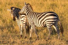 Zebras in the savannah stock photography