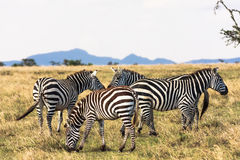 Zebras in the savannah. Zebra communicate. Masai Mara, Kenya Stock Images