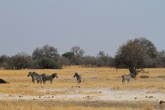 Zebras in the Savannah. In Southern Africa stock photos
