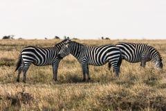 Zebras in the savannah. Zebras talk to each other. Masai Mara. Zebras in the savannah. Zebras talk to each other. Masai Mara, Kenya Stock Photography