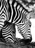 Zebras in Schwarzweiss nah essen Stockfotografie