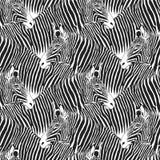 Zebras seamless pattern.  Stock Image