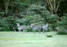 Zebras seeing the camera Royalty Free Stock Image