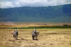 Zebras seen on safari in the NgoroNgoro Conservation Area near Arusha, Tanzania Royalty Free Stock Photo