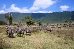 Zebras seen on safari in the NgoroNgoro Conservation Area near Arusha, Tanzania Royalty Free Stock Photography