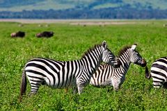 Zebras in the Serengeti Stock Photography