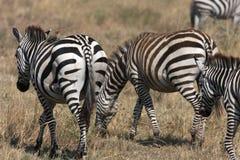 Zebras of Serengeti Stock Photos