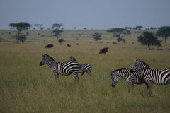 Zebras in Serengeti Stockbilder
