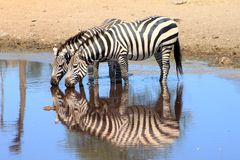 Zebras - Serengeti. Zebras having a cool down on a hot day in Serengeti National Park Stock Photography