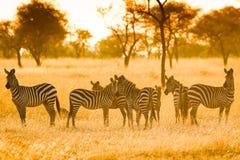 Zebras in Serengeti in misty light Stock Photo