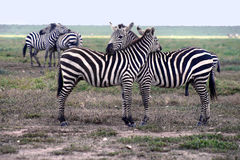 The zebras in the Serengeti National Park. The Serengeti hosts the largest terrestrial mammal migration in the world. Tanzania, Africa Royalty Free Stock Image