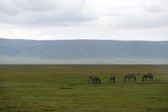 Zebras in Serengeti Royalty Free Stock Image