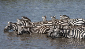 Zebras at the Serengeti National Park, Tanzania Stock Photography