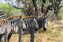 Zebras. At Serengeti National Park, Tanzania stock photo