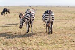 Zebras in Serengeti Nationalpark Stockfotografie