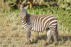 Zebras in Serengeti Nationalpark Stockbilder