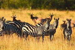 Zebras in Serengeti in nevelig licht Stock Foto's