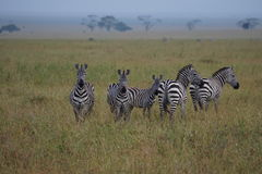 Zebras in Serengeti Stock Image