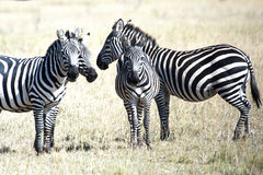 Zebras in the Serengeti, Tanzania Royalty Free Stock Photography
