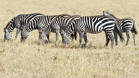 Zebras in the Serengeti, Tanzania. Four zebras in line, one calf, Savannah of Serengeti, Tanzania, Africa stock photo