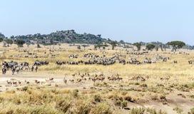 Zebras. In the Serengeti in Tanzania Royalty Free Stock Photography