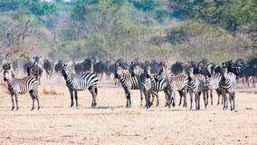 Zebras in Serengeti, Tanzania, Afrika stock foto's