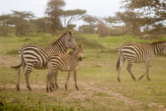 Zebras in the Serengeti. Two adult females and a baby Zebra graze in the early morning in the grasslands of the Serengeti Royalty Free Stock Image