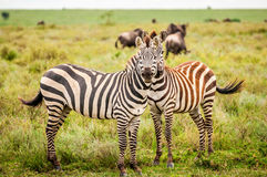 Zebras on the Serengeti. Two zebras on the Serengeti plains, with migrating wildebeest in the background Stock Image