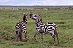 Zebras setzen sich auf dem Serengeti auseinander lizenzfreies stockbild