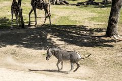 Zebra and giraffes. Zebras are several species of African equids horse family united by their distinctive black and white striped coats. Their stripes come in royalty free stock photos