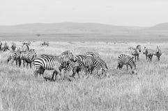 Zebras Stock Images