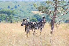 Zebras Royalty Free Stock Image