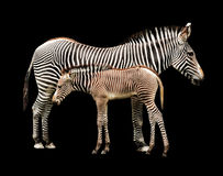 Zebras on the Shadows Stock Image