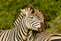 Zebras showing affection Royalty Free Stock Image