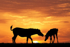 Zebras silhouette at sunset Stock Images