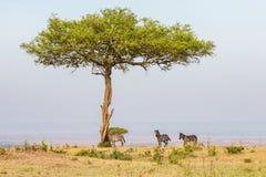 Zebras sob à Imagem de Stock Royalty Free