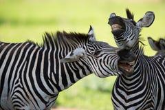 Zebras socialising Stock Photography