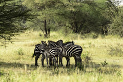 Zebras Socializing, Tanzania Stock Photo