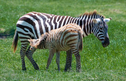 Zebras, Son & Mom. A newborn enjoying a free drink Stock Photo