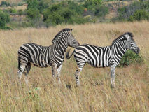 Zebras in Southafrica Stock Image
