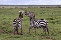 Zebras Spar on the Serengeti royalty free stock image