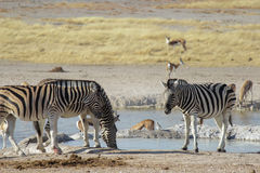 Zebras and springbok drinking water in a waterhole in Etosha national park Royalty Free Stock Photography